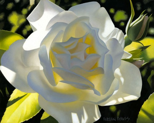 Brian Davis Divine White Rose Giclee On Canvas