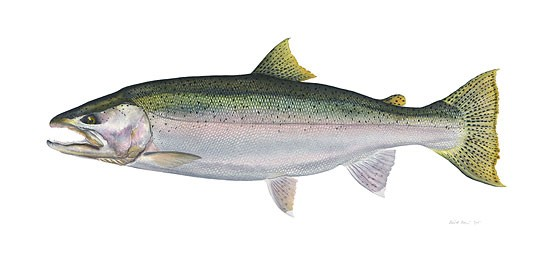 Flick Ford Steelhead Limited Edition Canvas