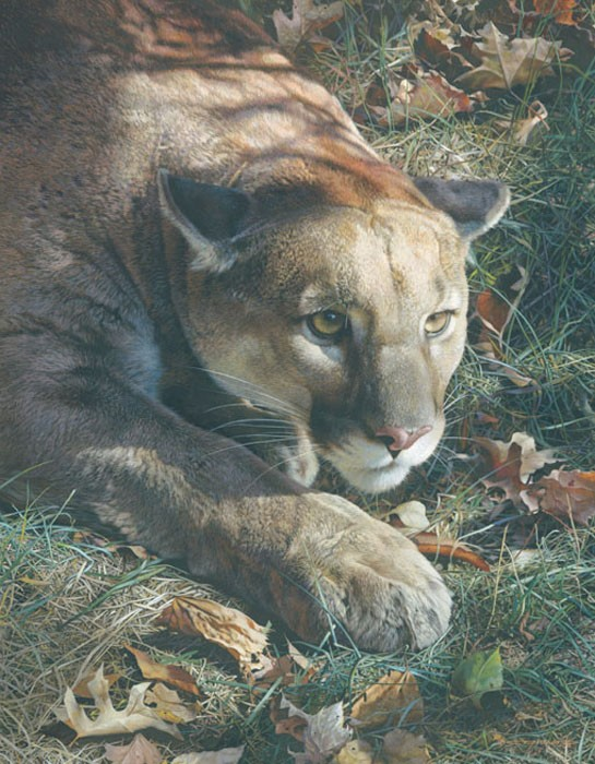 Carl Benders Stalking - Cougar Giclee On Canvas