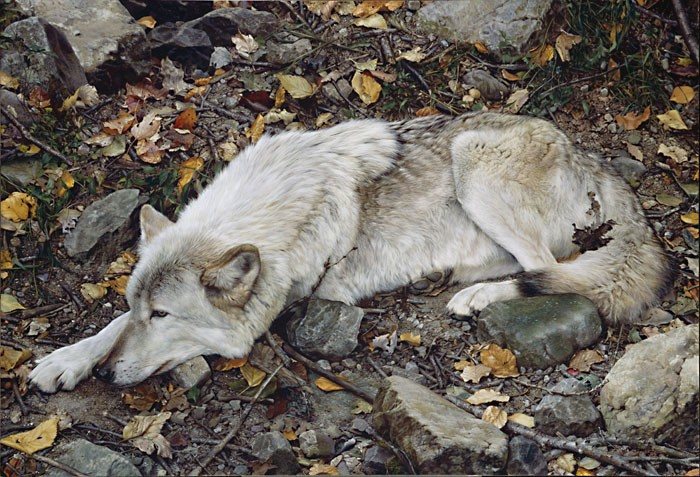 Carl Benders The Fall Guy - Tundra Wolf Giclee On Canvas