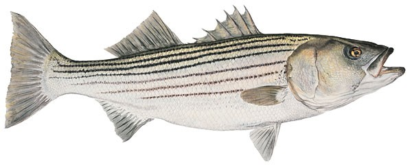 Flick Ford Mature Striped Bass Smallwork Canvas Edition