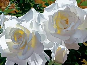 Brian Davis-White Radiant Roses