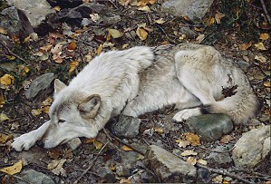 Carl Benders-The Fall Guy - Tundra Wolf