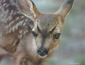 Carl Benders-Spotted - Mule Deer Fawn
