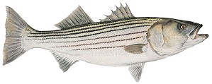 Flick Ford-Mature Striped Bass Smallwork Canvas Edition